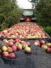 Harvesting Apples 2013