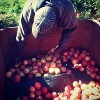 Sorting Apples 2013